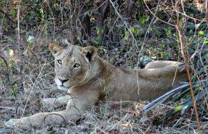 Löwin im Nationalpark (Sambia), Foto: A. Vössing
